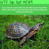 box turtle wtf fun facts