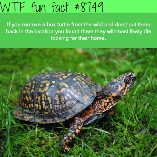 Box turtle - WTF fun facts