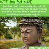 buddhas hair wtf fun fact