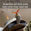 butterflies drink turtle tears wtf fun facts
