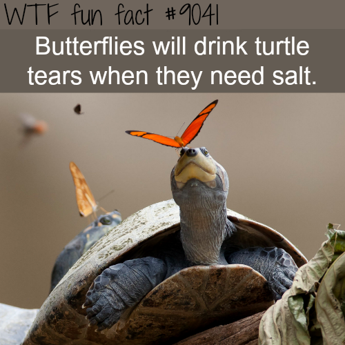 Butterflies drink turtle tears - WTF fun facts