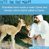 camel and llama hybrid cama wtf fun facts