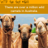 camels in australia wtf fun facts