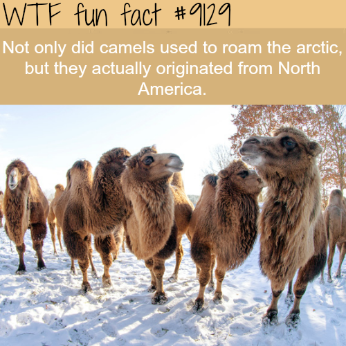 Camels - WTF fun fact