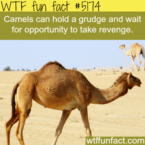 Camels - WTF fun facts