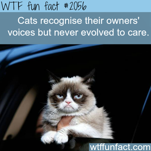 Can cats recognize their owner's voice?-WTF fun facts