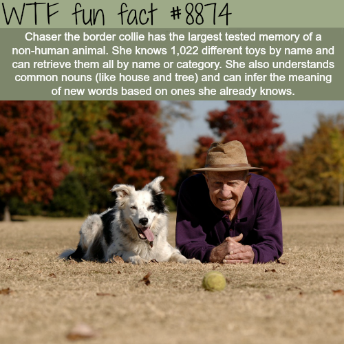 Chaser the border collie - WTF fun facts