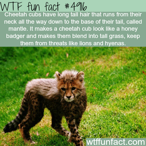 Cheetah cubs - WTF fun facts