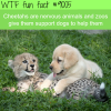 cheetahs and dogs wtf fun facts
