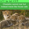 cheetahs dont roar wtf fun facts