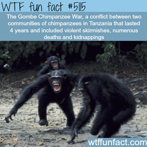 Chimpanzee Warfare: The Gombe Chimpanzee War - WTF fun facts