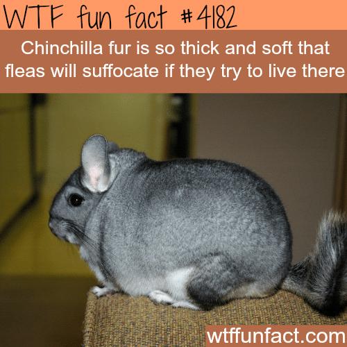 Chinchilla fur -  WTF fun facts