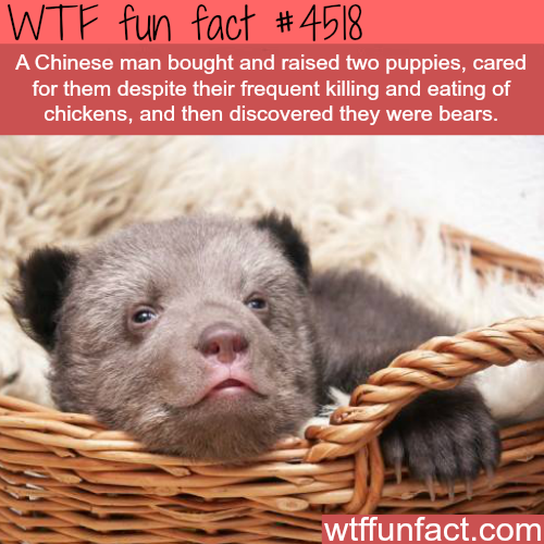 """Chinese man finds out his two """"puppies"""" are actually bears-   WTF fun facts"""