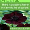 choclate flowers cosmos atrosanguineus