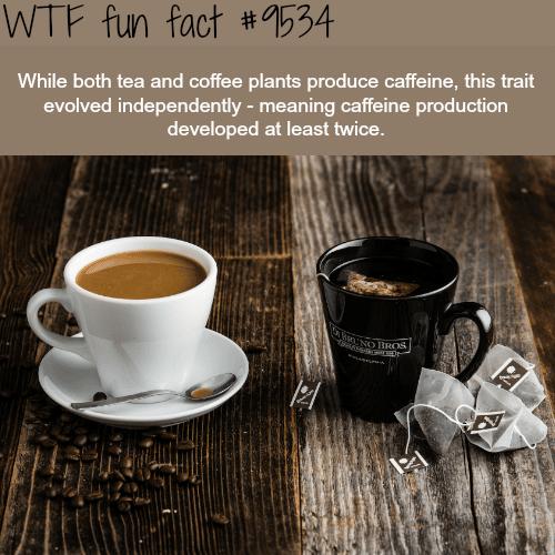 Coffee and Tea - WTF fun fact