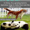 coloring your dogs trend in china
