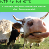 cows have best friends wtf fun facts