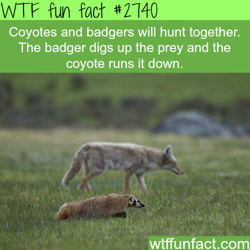 Coyotes and badgers hunting together - WTF fun facts