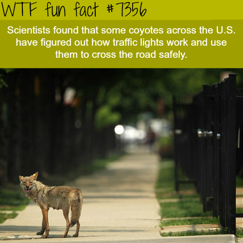 coyotes are learning how to use the traffic lights - WTF fun facts