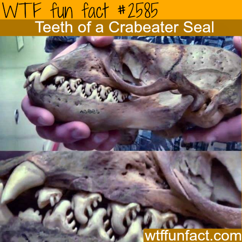 Crabeater Seal's teeth -WTF funfacts