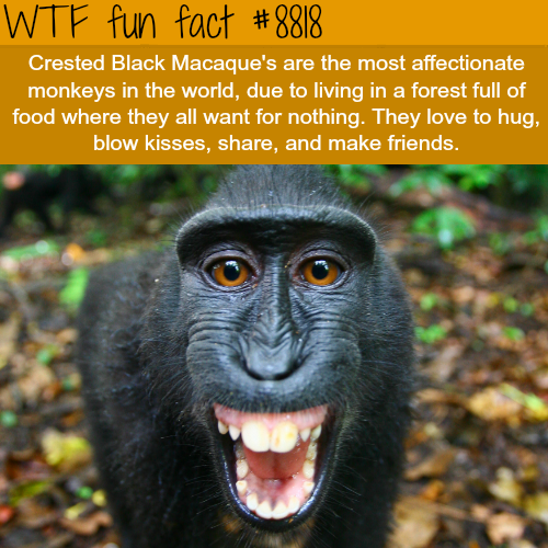 Crested Black Macaque - WTF fun facts