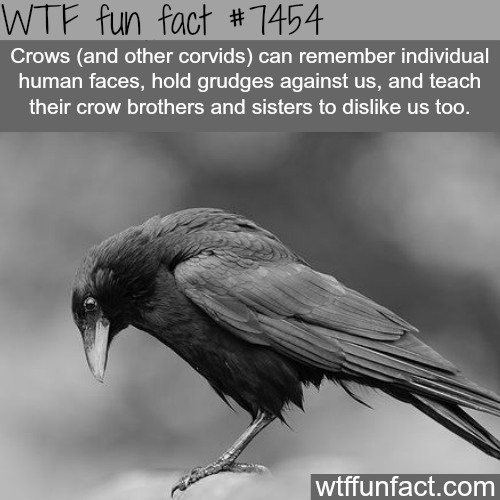 Crows - Facts