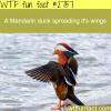 cute mandarin duck spreading it s wings