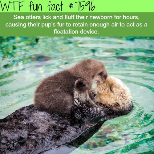 Cute sea otters - WTF fun facts