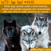 difference between dogs and wolves wtf fun