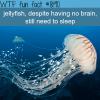 do jellyfish sleep wtf fun fact