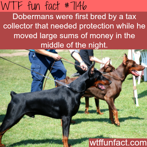 Dobermans - WTF fun facts