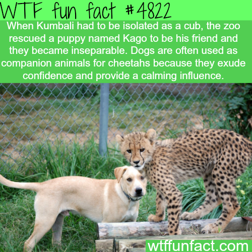 Dog and cheetah best friends - WTF fun facts
