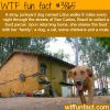 dog walks 8 miles to get food for his family of other