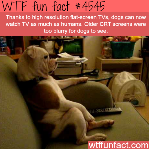Dog watching TV -   WTF fun facts