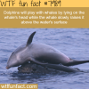 dolphin playing with whale wtf fun fact