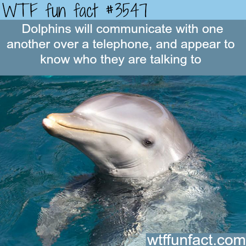 Dolphins communicate over the telephone (source) - WTF fun facts