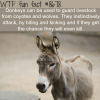 donkeys as guard animals wtf fun facts