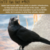 dont mess with the crows wtf fun fact