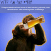 drunk chimpanzees wtf fun fact