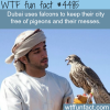 dubai uses falcons to keep the city free of