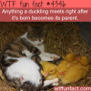 duckling facts wtf fun facts