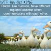 ducks quack in diffrent accent