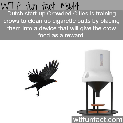 Dutch startup that trains crows to clean up cities from cigarettes - WTF fun facts