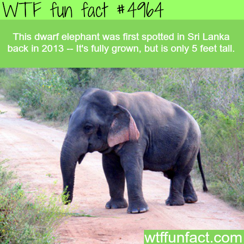 Dwarf elephant that is only 5 feet tall - WTF fun facts