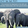 elephants develop relationships with their