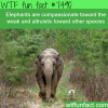 elephants feel compassion toward the weak wtf