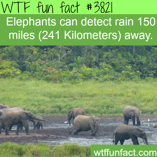 Elephant's radar: Elephants can detect rain hundreds of miles away - WTF fun facts