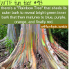 eucalyptus deglupta rainbow tree
