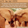 facts about elephants wtf fun facts