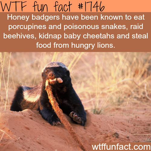 Facts about the Honey badgers - WTF fun facts